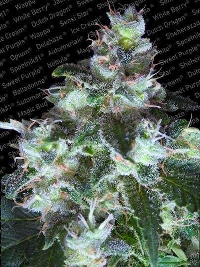 Paradise Seeds Original White Widow feminised