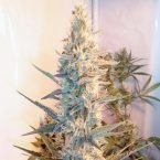 Female Seeds Outdoor Grapefruit Feminised Seeds