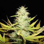 Peacekeeper AUTO Feminised Seeds