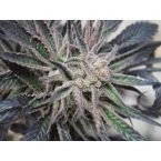 Cannabiogen Peyote Purple Regular Seeds