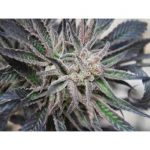 Peyote Purple Regular Seeds