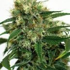 Barney's Farm Phatt Fruity Feminised Seeds