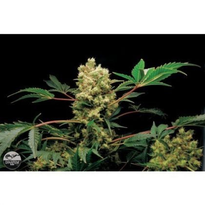 Dinafem Power Kush Feminised Seeds