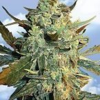 Flying Dutchmen Power Skunk Feminised Seeds