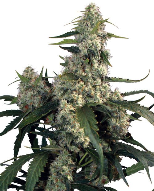 Buddha Seeds Quasar Feminised Seeds