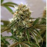 Red Cherry Berry Feminised Seeds