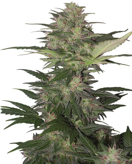 Buddha Seeds Red Dwarf Auto Feminised Seeds