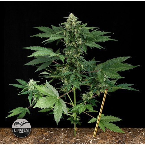 Dinafem Roadrunner Feminised Seeds