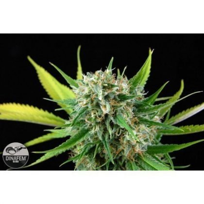Dinafem Royal Haze Feminised Seeds