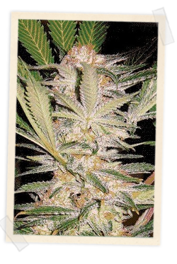 Sweet Seeds S.A.D. Auto Feminised Seeds