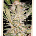 Sweet Seeds S.A.D. FAST Version Feminised Seeds
