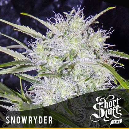 shortstuff seeds Snowryder feminised