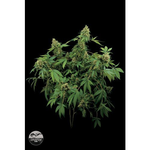 Dinafem Santa Sativa Feminised Seeds