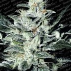 Paradise Seeds Sensi Star feminised