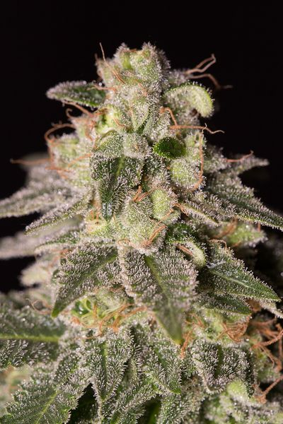 Dinafem Shark Shock CBD Feminised Seeds
