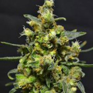710 Genetics Shellshock AUTO Feminised Seeds