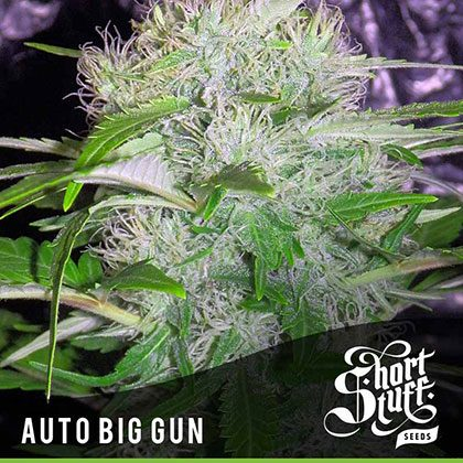 shortstuff seeds Auto Big Gun feminised
