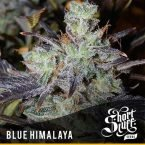 shortstuff seeds Blue Himalaya feminised