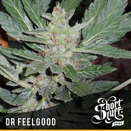 shortstuff seeds Dr.feelgood feminised