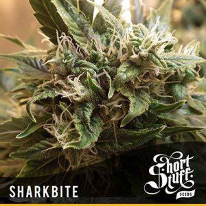 shortstuff seeds Sharkbite feminised