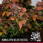 Himalaya blue diesel feminised