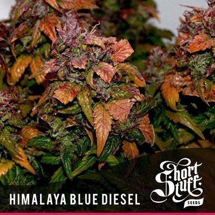 shortstuff seeds Himalaya blue diesel feminised