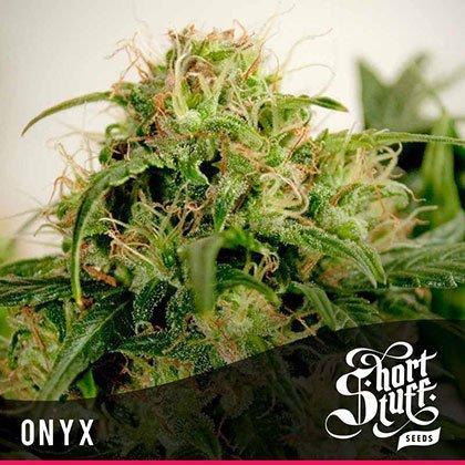shortstuff seeds Onyx feminised