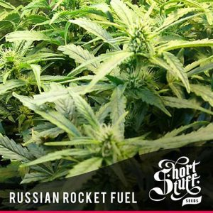shortstuff seeds Russian rocket fuel feminised
