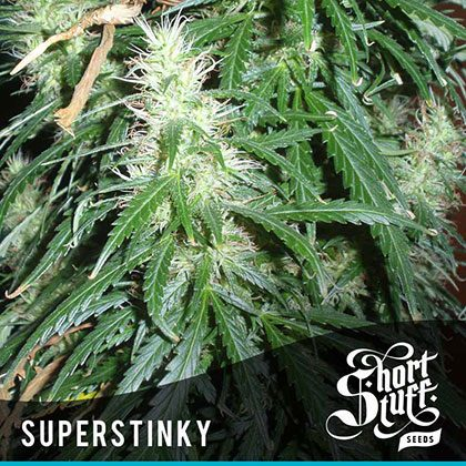 shortstuff seeds Super Stinky feminised
