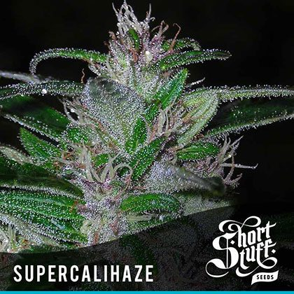 shortstuff seeds Super Cali Haze feminised