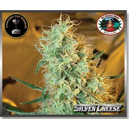 Big Buddha Seeds Silver Cheese Feminised Seeds