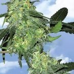 Flying Dutchmen Skunk Classic Feminised Seeds
