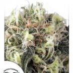 Dutch Passion Snow Bud Feminised Seeds