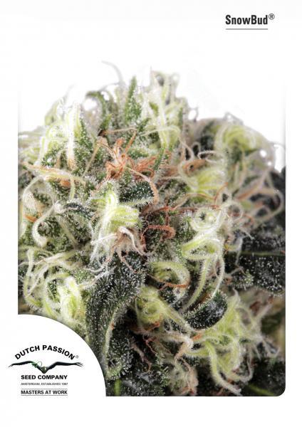 Dutch Passion Snow Bud Feminised Seeds