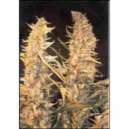 Female Seeds Skunk Special seeds