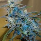 Cannabiogen Sugarloaf Feminised Seeds