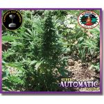 Super Automatic Sativa Feminised Seeds