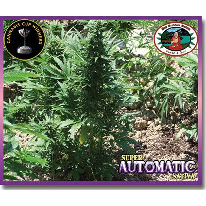 Big Buddha Seeds Super Automatic Sativa Feminised Seeds
