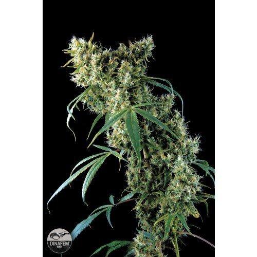 Dinafem Super Silver Feminised Seeds