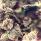 Female Seeds Sweet Soul Feminised Seeds
