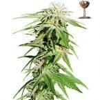 Barney's Farm Sweet Tooth Auto Feminised Seeds