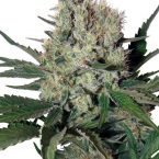 Buddha Seeds Syrup Auto Feminised Seeds