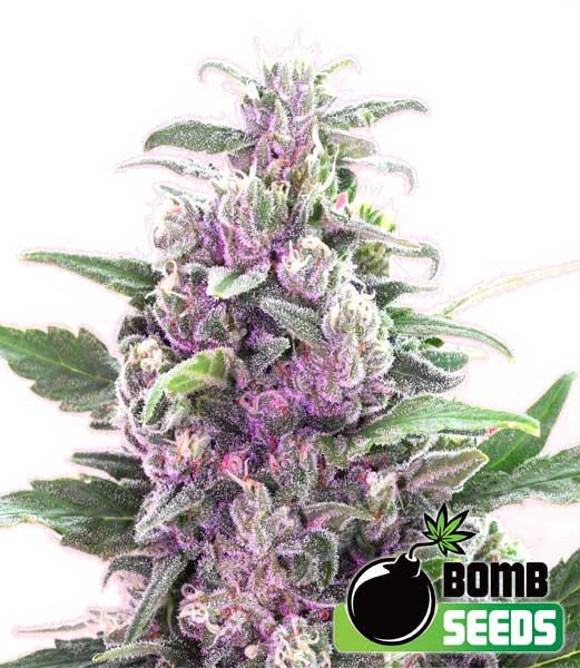 Bomb Seeds THC Bomb Auto