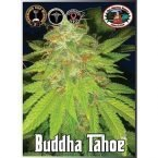 Big Buddha Seeds Tahoe Feminised Seeds