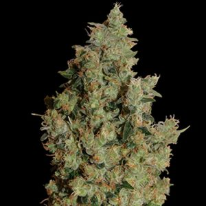 Barney's Farm Tangerine Dream Feminised Seeds