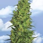 Flying Dutchmen Temple Haze Feminised Seeds