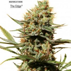 Dutch Passion The Edge Feminised Seeds