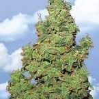 Flying Dutchmen Voyager Feminised Seeds