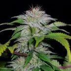 710 Genetics White Candy Auto Feminised Seeds