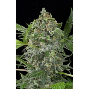 Dinafem White Cheese Automatic Feminised Seeds